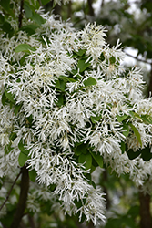 Chinese Fringetree (Chionanthus retusus) at Roger's Gardens