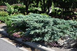 Blue Pfitzer Juniper (Juniperus x media 'Pfitzeriana Glauca') at Roger's Gardens