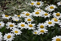 Snowbound Shasta Daisy (Leucanthemum x superbum 'Snowbound') at Roger's Gardens