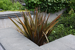 Bronze New Zealand Flax (Phormium tenax 'Atropurpureum') at Roger's Gardens