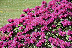 Grand Marshall Beebalm (Monarda 'Grand Marshall') at Roger's Gardens