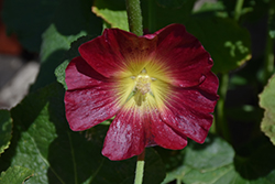 Halo Red Hollyhock (Alcea rosea 'Halo Red') at Roger's Gardens