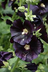 Blacknight Hollyhock (Alcea rosea 'Blacknight') at Roger's Gardens