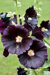 Black Hollyhock (Alcea rosea 'Nigra') at Roger's Gardens