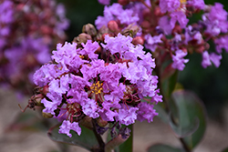 Petite Orchid Crapemyrtle (Lagerstroemia indica 'Monhid') at Roger's Gardens