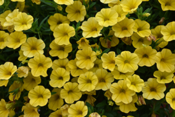 Superbells Yellow Calibrachoa (Calibrachoa 'Balcal1004') at Roger's Gardens