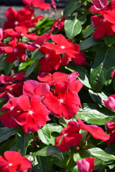 Titan Really Red Vinca (Catharanthus roseus 'Titan Really Red') at Roger's Gardens