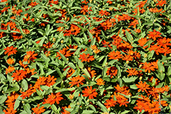 Zahara XL Fire Zinnia (Zinnia 'Zahara XL Fire') at Roger's Gardens