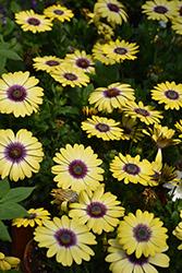 Blue Eyed Beauty African Daisy (Osteospermum ecklonis 'Balostlueye') at Roger's Gardens