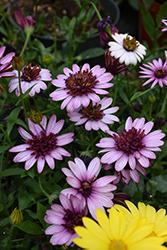 4D Berry White African Daisy (Osteospermum 'KLEOE15257') at Roger's Gardens