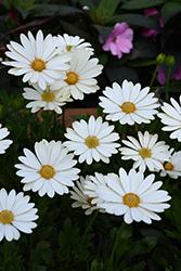 Voltage White African Daisy (Osteospermum 'Voltage White') at Roger's Gardens