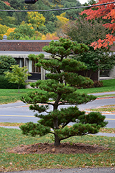 Thunderhead Japanese Black Pine (Pinus thunbergii 'Thunderhead') at Roger's Gardens
