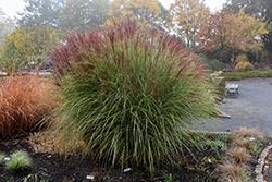 Morning Light Maiden Grass (Miscanthus sinensis 'Morning Light') at Roger's Gardens