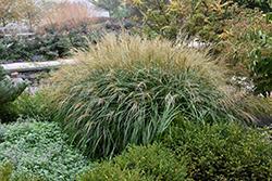 Adagio Maiden Grass (Miscanthus sinensis 'Adagio') at Roger's Gardens