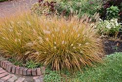 Hameln Dwarf Fountain Grass (Pennisetum alopecuroides 'Hameln') at Roger's Gardens