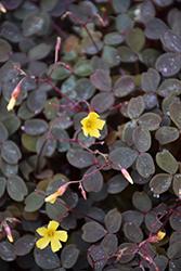 Zinfandel Shamrock (Oxalis vulcanicola 'Zinfandel') at Roger's Gardens