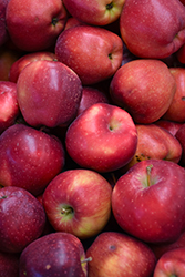 Red Delicious Apple (Malus 'Red Delicious') at Roger's Gardens