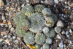 Cotton Candy Hens And Chicks (Sempervivum 'Cotton Candy') at Roger's Gardens