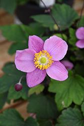September Charm Anemone (Anemone x hybrida 'September Charm') at Roger's Gardens