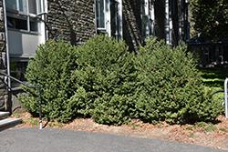 Green Mountain Boxwood (Buxus 'Green Mountain') at Roger's Gardens