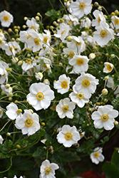 Honorine Jobert Anemone (Anemone x hybrida 'Honorine Jobert') at Roger's Gardens