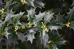 False Holly (Osmanthus heterophyllus) at Roger's Gardens