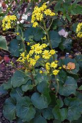 Leopard Plant (Farfugium japonicum) at Roger's Gardens