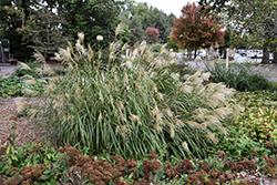 Condensatus Maiden Grass (Miscanthus sinensis var. condensatus) at Roger's Gardens