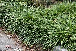 Big Blue Lily Turf (Liriope muscari 'Big Blue') at Roger's Gardens