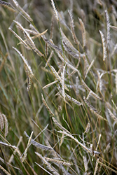 Blonde Ambition Blue Grama Grass (Bouteloua gracilis 'Blonde Ambition') at Roger's Gardens
