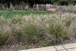 Karley Rose Oriental Fountain Grass (Pennisetum orientale 'Karley Rose') at Roger's Gardens