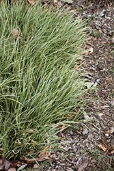 Variegated Grassy-Leaved Sweet Flag (Acorus gramineus 'Variegatus') at Roger's Gardens