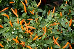 Orange Thai Hot Pepper (Capsicum annuum 'Orange Thai') at Roger's Gardens