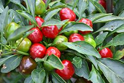 Ammazzo Hot Pepper (Capsicum annuum 'Ammazzo') at Roger's Gardens