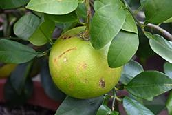 Oroblanco Grapefruit (Citrus x paradisi 'Oroblanco') at Roger's Gardens