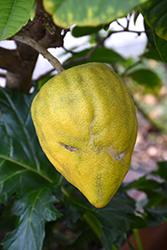Citron (Citrus medica) at Roger's Gardens