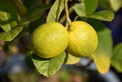 Key Lime (Citrus aurantifolia) at Roger's Gardens