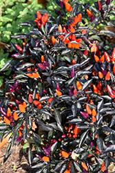 Explosive Ember Ornamental Pepper (Capsicum annuum 'Explosive Ember') at Roger's Gardens
