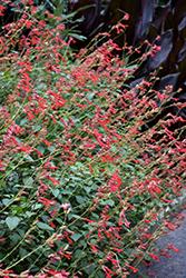 Ember's Wish Salvia (Salvia 'Sal1010-1') at Roger's Gardens