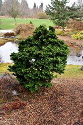 Dwarf Hinoki Falsecypress (Chamaecyparis obtusa 'Nana Gracilis') at Roger's Gardens