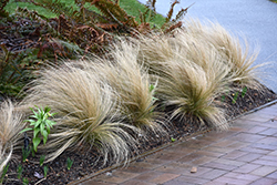 Mexican Feather Grass (Nassella tenuissima) at Roger's Gardens