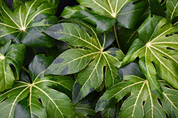 Variegated Japanese Aralia (Fatsia japonica 'Variegata') at Roger's Gardens