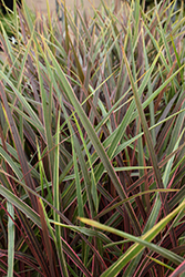 Can Can Cordyline (Cordyline 'Can Can') at Roger's Gardens