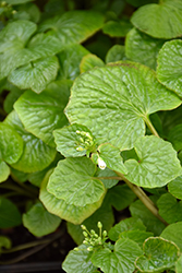 Wasabi (Wasabia japonica) at Roger's Gardens