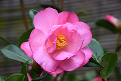 Taylor's Perfection Camellia (Camellia x williamsii 'Taylor's Perfection') at Roger's Gardens