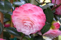 Nuccio's Pearl Camellia (Camellia japonica 'Nuccio's Pearl') at Roger's Gardens