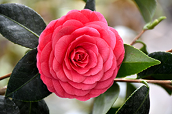Colonel Firey Camellia (Camellia japonica 'Colonel Firey') at Roger's Gardens
