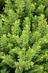 Boxleaf Hebe (Hebe buxifolia) at Roger's Gardens