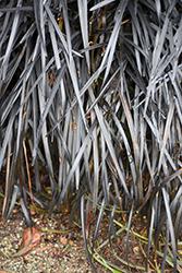 Black Mondo Grass (Ophiopogon planiscapus 'Nigrescens') at Roger's Gardens