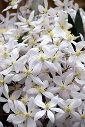 Apple Blossom Clematis (Clematis armandii 'Apple Blossom') at Roger's Gardens